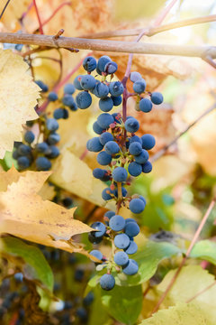 bunch of ripe blue grapes hanging on a Bush lit the summer sun. the yellow leaves of the vine. berry background plant wallpaper