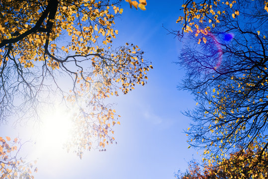 trees with yellow leaves glowing under the rays of the bright sun against the blue sky. colorful autumn landscape. beautiful natural background nature backdrop wallpaper