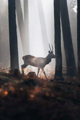 Steaming red deer with pointd antlers walking in misty autumn forest.
