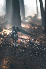 Mouflon standing on hill in misty autumn forest.