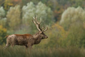 Fototapeta Deer - Cerf