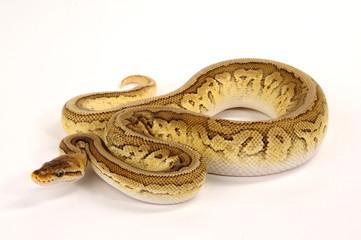 Königspython (Python regius) - Ball python