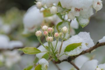 Obstblüte - Birne blühend (Knospen) im Schnee – Frühlingsblumen im Winter