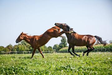 Streitende Pferde
