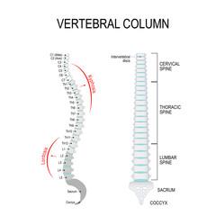 Kyphosis & Lordosis. Vertebral column