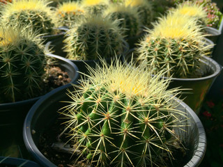 Backlit Cactus Succulent Variety at Local Market