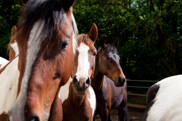 Mares In A Paddock