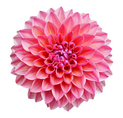 Türaufkleber Dahlie Pink dahlia isolated on white background