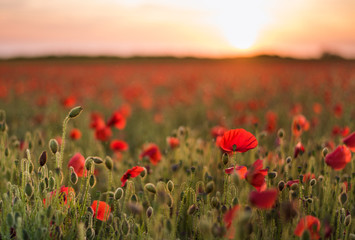 Poster Poppy Field of poppies at sunset