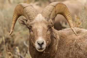 Rocky Mountain Bighorn Ram #3