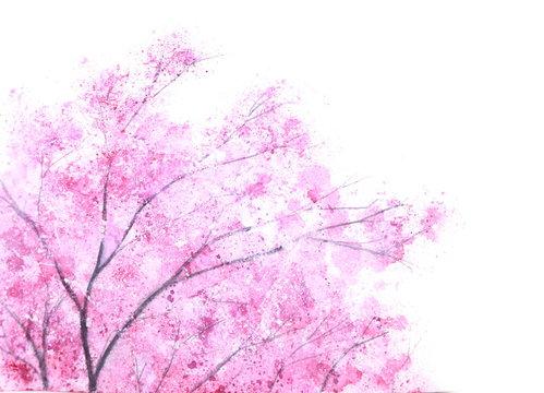 watercolor pink tree sakura on white background.