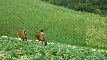 Two workers in cabbage field in Thailand
