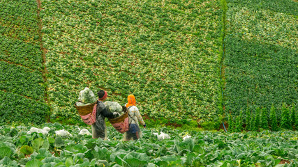 Two Workers with baskets in cabbage field in Thailand