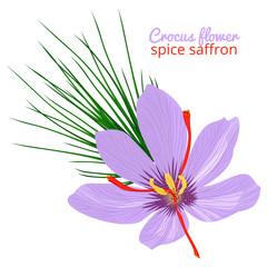 Vintage card with Crocus flower violet set on white background. Saffron spice. Watercolor style pattern