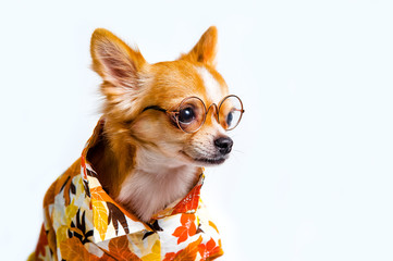 Chihuahua dog wearing an orange shirt wearing glasses.