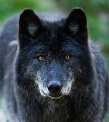 Black Wolf - Loup Noir