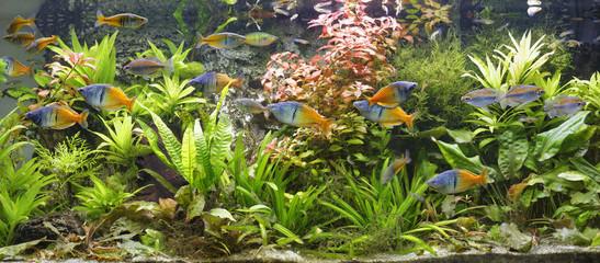 Boeseman's rainbowfishes, Melanotaenia boesemani and Congo tetras, Phenacogrammus interruptus swimming in fresh water aquarium