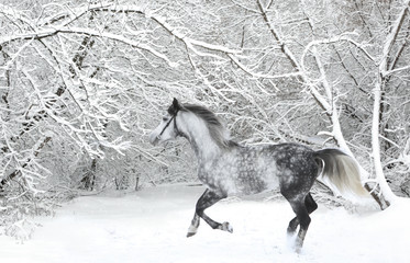 Andalusian thoroughbred gray horse in winter woods in motion on the nature background