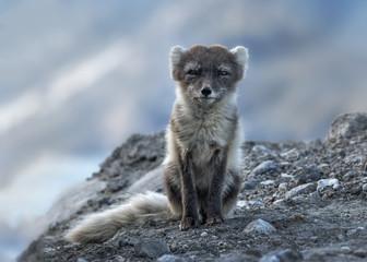 Portrait of Arctic fox, Kulusuk, Greenland