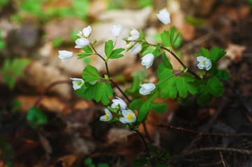 Spring flowers in the forest.