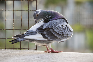 homing pigeon bird preening feather at home loft