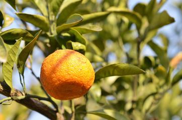 Orange mandarin on the tree