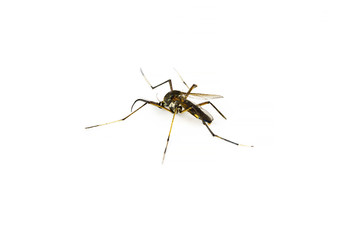 Mosquito on white background isolated with copy space