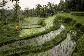 Indonesia, Bali, landscape with rice field and jungle