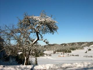 Weiße Winterlandschaft mit verschneitem Obstbaum vor blauem Himmel in Rudersau bei Rottenbuch in Oberbayern