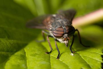 Макромир. Большая муха и большой зелёный клоп. Дикая природа. Насекомые и цветы. Macrocosm. Big fly and big green bug. Wild nature. Insects and flowers