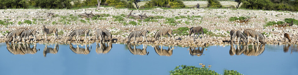 Namibia, Etosha National Park, Herd of burchell's zebras, Equus quagga burchellii, at Okaukuejo lake, panorama