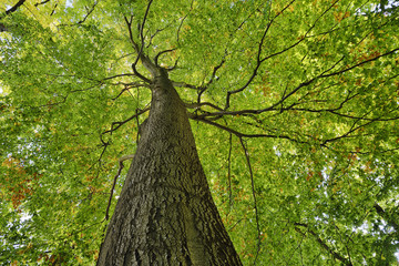 Low angle view of Copper Beech tree, Fagus sylvatica, Saxon Switzerland National Park