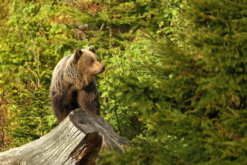 Ursus arctos. Brown bear. The photo was taken in Slovakia. The brown bear is found throughout Europe. Beautiful bear image. Nature of Slovakia. Wild nature. Free nature. From the life of the bears. Na