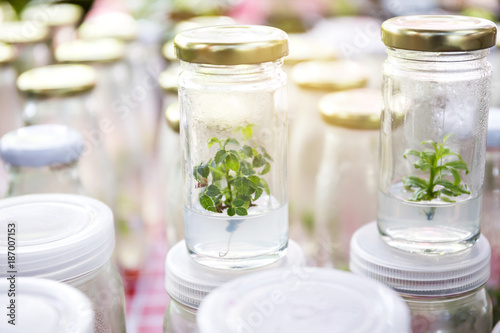 Close up row of glass bottle plant tissue culture on shelf