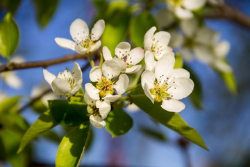 Branch of blossoming pear tree closeup