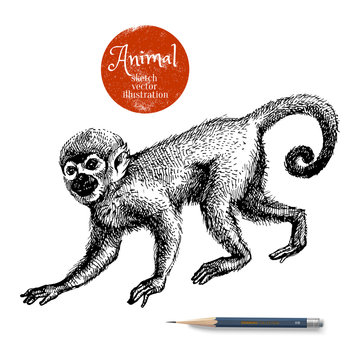 Hand drawn monkey animal vector illustration. Sketch isolated marmoset on white background with pencil and label banner