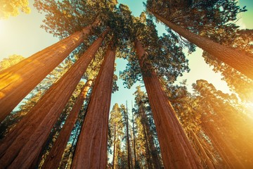 Wall Mural - Giant Sequoias Redwood