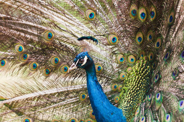 Peacock varicolored closeup