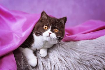 4 Monate altes BKH Kitten unter rosa Decke - sehr typvoll