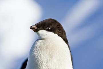 Young Adelie penguin(pygoscelis adeliae)on the seashore Davis,East Antarctica