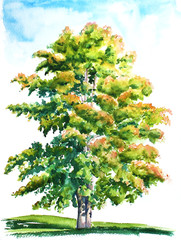 Watercolor hand drawn illustration of the maple tree in the field.