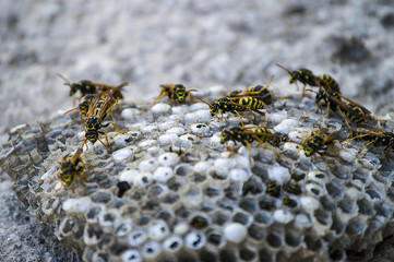 wild bees, wild bees honeycomb photos, wasps, poisonous bees,