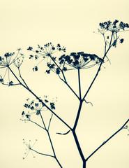 Still life of dried fennel flowers
