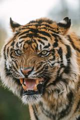 portrait of wild looking sumatran tiger