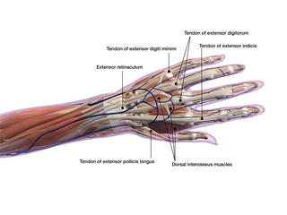 Hand Labeled Tendons and Muscle Anatomy Dorsal View on White
