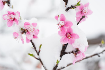 Peach blossom branches covered with fresh snow