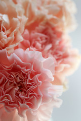 Close Up Of A Bouquet Of Fresh Pink Carnation Flowers