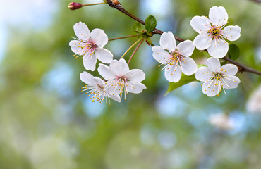 Blooming cherry tree, flowers with leaves on twig on a spring day