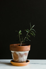 Potted Olive Tree Sapling
