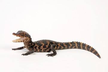 Printed roller blinds Crocodile Brauen-Glattstirnkaiman (Paleosuchus palpebrosus) - Cuvier's dwarf caiman